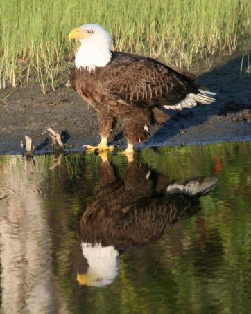 Eagle Reflection