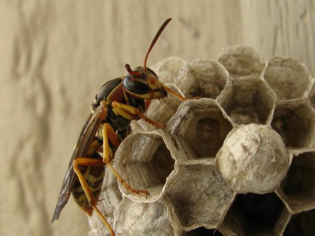 wasp2 0031