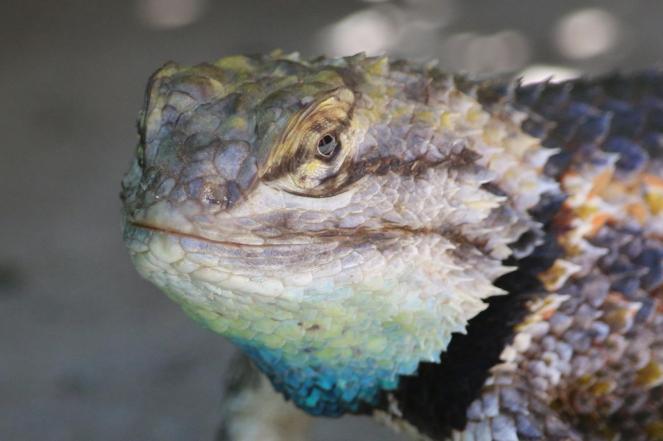 desert spiny lizard 1