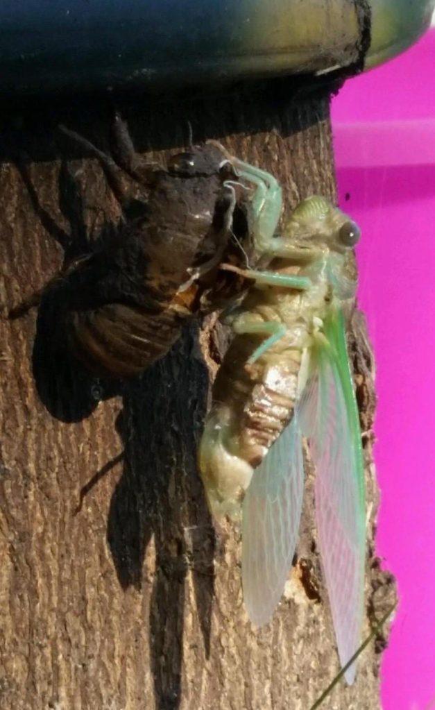 cicada-glen