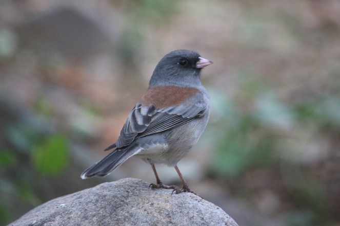 bird-red-back-dark-eyed-junco-john