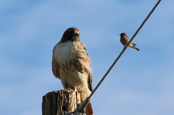 hawk-and-small-bird-john
