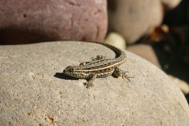 lizard-john