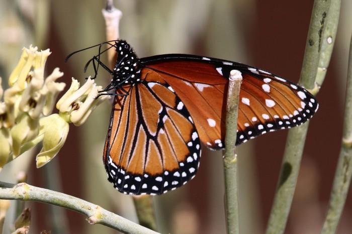 monarch-butterfly-1-john