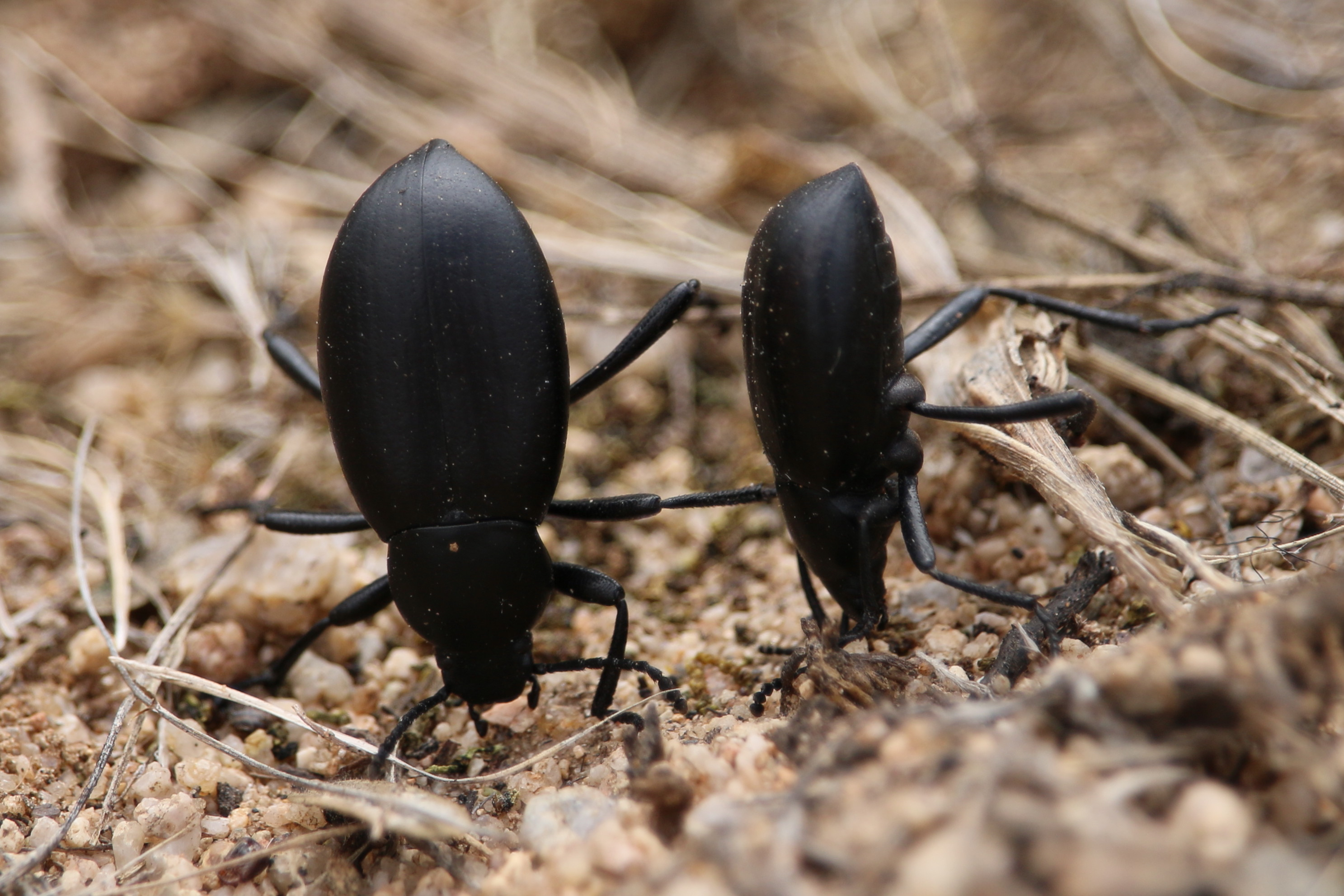 desert stink beetles ready to fire – John – Freed to Fly
